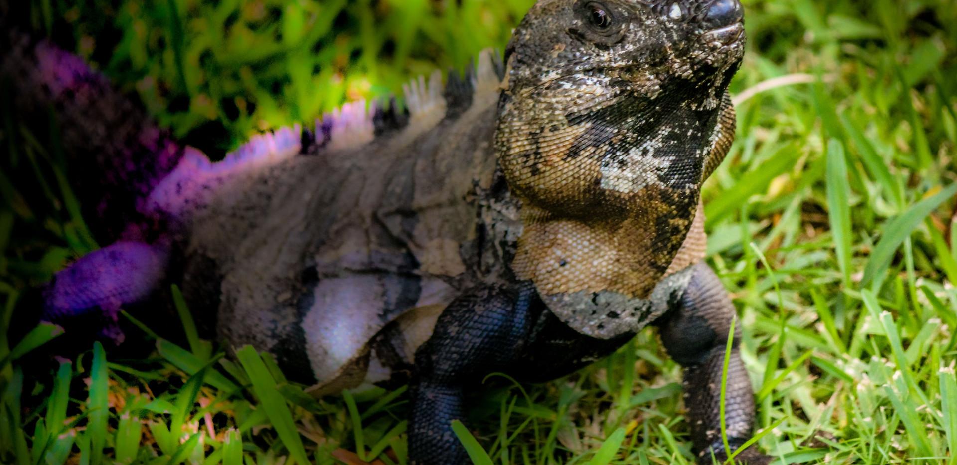 iguana-2412102.jpg