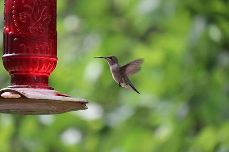 humming-bird-5052592.jpg