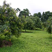 Rambutan Trees