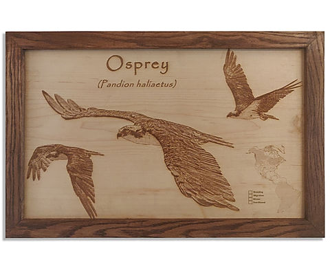Osprey in Flight patterns