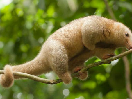 What's so Silky about this Anteater?