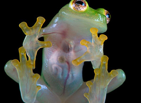 Glass Frogs Don't Crack