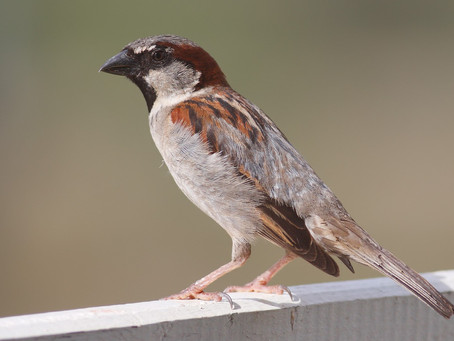 Sparrows of the World