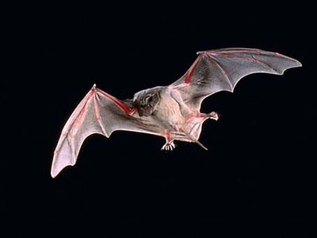 What's a free tailed bat anyway?