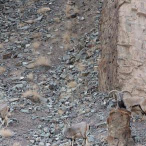 Spot the Snow Leopard