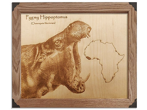 Pygmy Hippo Eating Africa