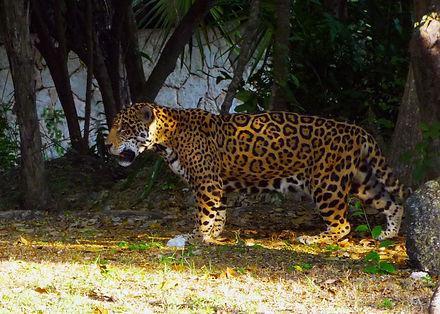 Xcaret, Leopard copy.JPG