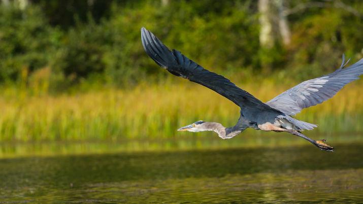 Blue Heron-0975.jpg