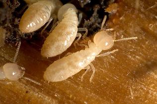 Termites_-2.jpg