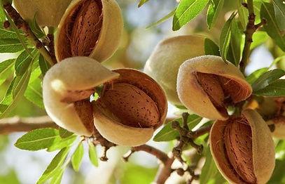 arbol-frutal-de-almendras-almendro-viver