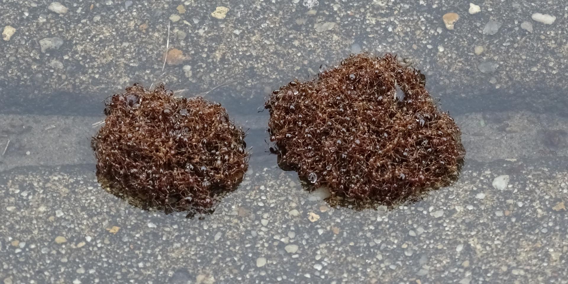Ant islands