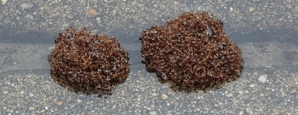 Ant islands