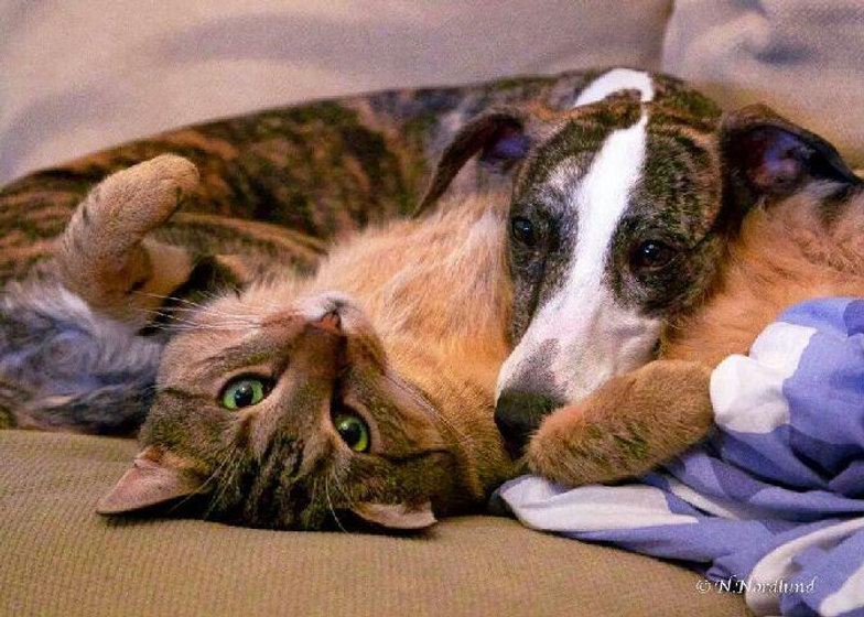 cat and whippet