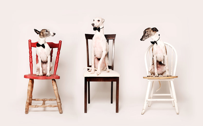 kerri shiels 3 whippets on chairs.jpg