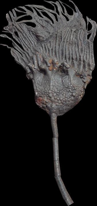 scyphocrinite elegans.jpg
