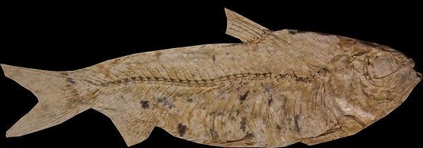 paléoniscus.jpg