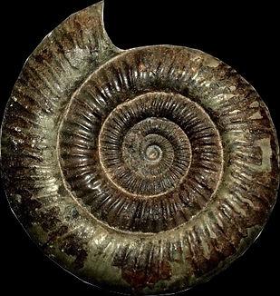 dactylioceras - Copie.jpg
