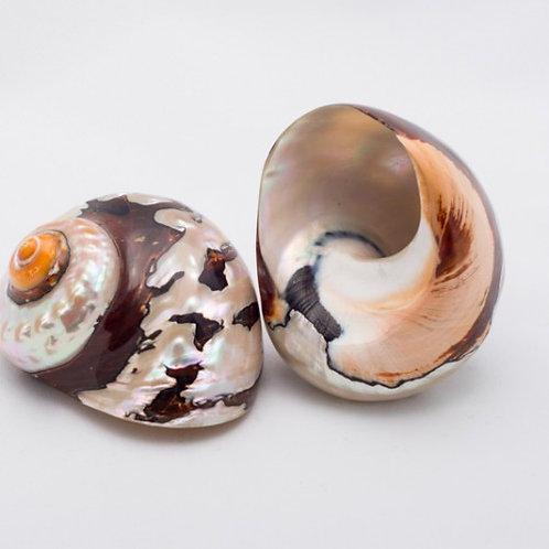 Turbo Samarticus Shell