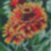 87D Sm Yellow Flame Zinnia.jpg