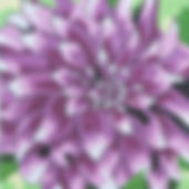 56F Large Purple Dahlia.jpg