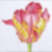 15C Regal Parrot Tulip.jpg