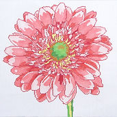 15B Regal Gerber Daisy.jpg