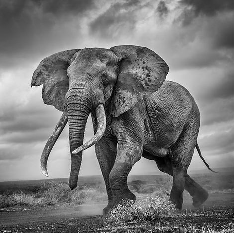 Elephant On the Run.jpg