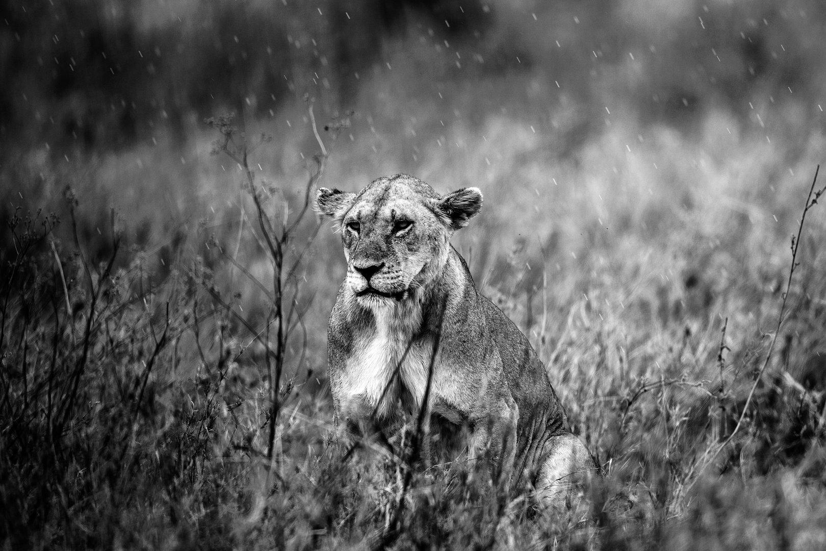 LIONESS UNDER THE RAIN