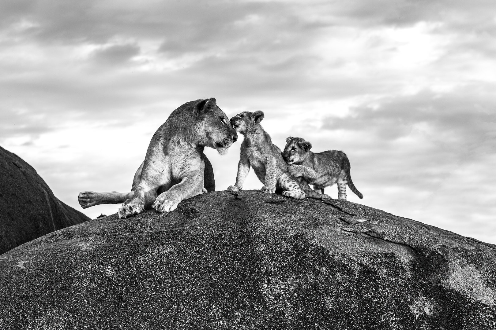 LIONESS AND CUBS ON KOPJE
