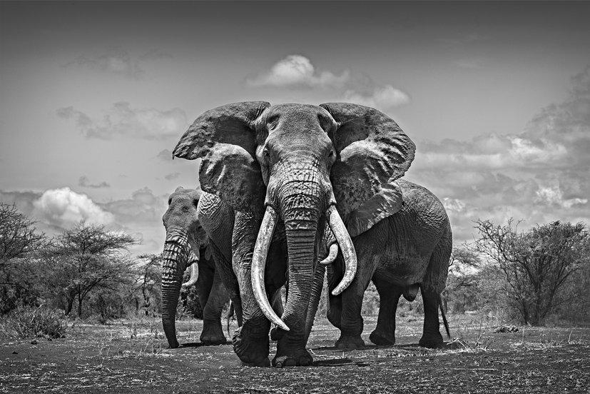 ELEPHANT AND IVORY