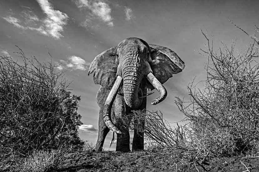 ELEPHANT TOP DOWN