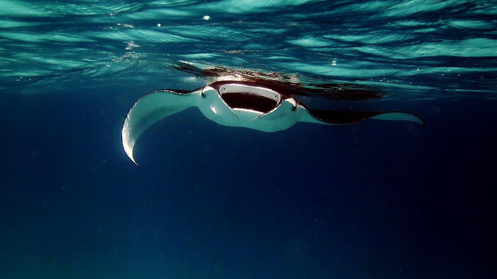 Manta point komodo, manta rays komodo, manta point komodo island tour.