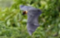 kalong rinca flying foxes Komodo. Komodo boat tour from bali.