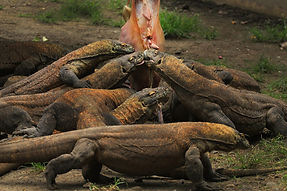 Explore Rinca Island. Komodo dragon tour to Rinca island.