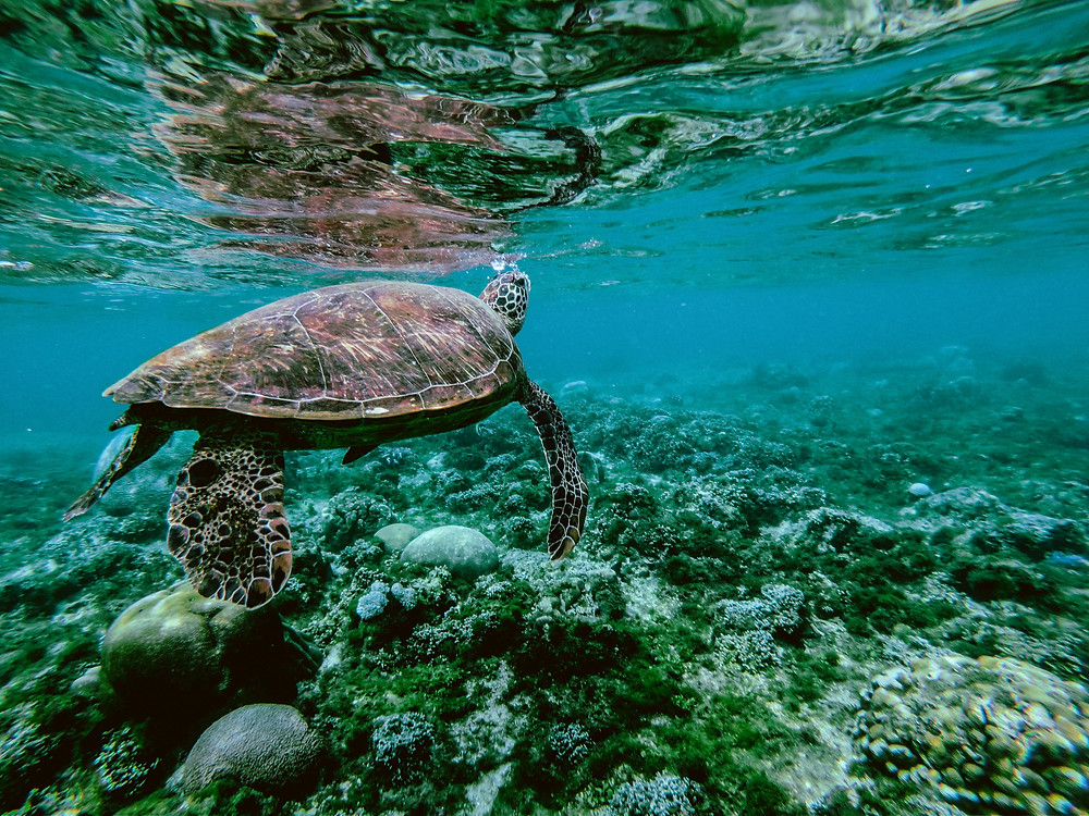 Seawater Turtle in Komodo island. Perfect snorkeling spot at Komodo to see the Turtles. Laba Laba Boat is the best Komodo liveaboard tour service.