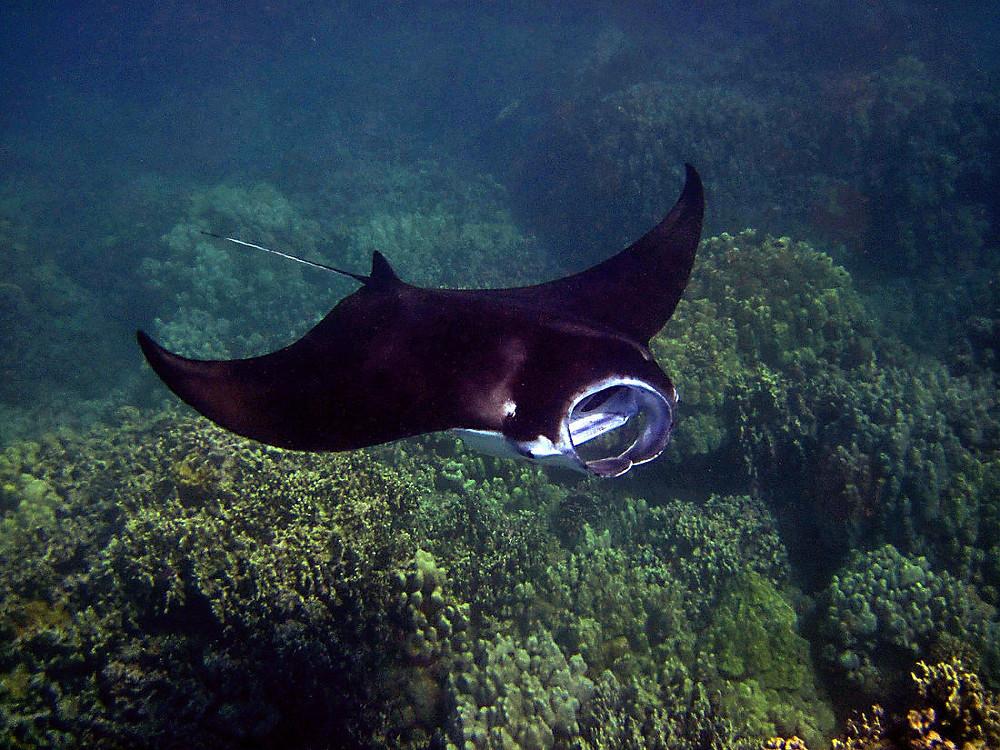 Big Manta Ray in Komodo Island. Diving with Manta Ray in Komodo. Private liveaboard diving in Komodo Island.