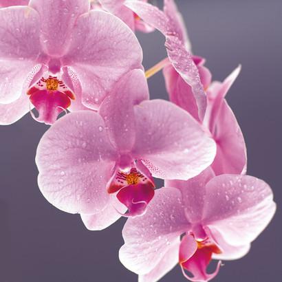 florajet orchidae 017.jpg