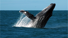 A tour through the ocean: understanding the comings and goings of humpback whales