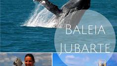 Um giro pelo oceano: entendendo o vai e vem das baleias-jubarte
