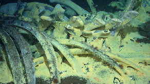 The extraordinary life of whale carcasses in the deep ocean