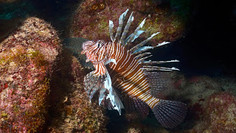 Devastatingly beautiful: the growing problem of Lionfish