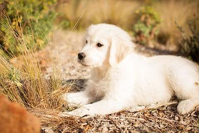 Golden retriever puppy Sawyer
