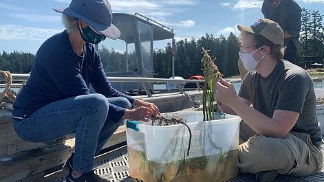 Eelgrass Starts.jpg