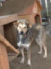 *PEARL* 20kgs pour 50cm au garrot. Dans notre petit refuge depuis plus d'un an ! Une Beauté Roumaine, douce louloute timide qui attend sa famille pour la vie. Ok chiens, chats à tester. Cliquez sur la photo pour consulter son album. Merci pour Elle ! 
