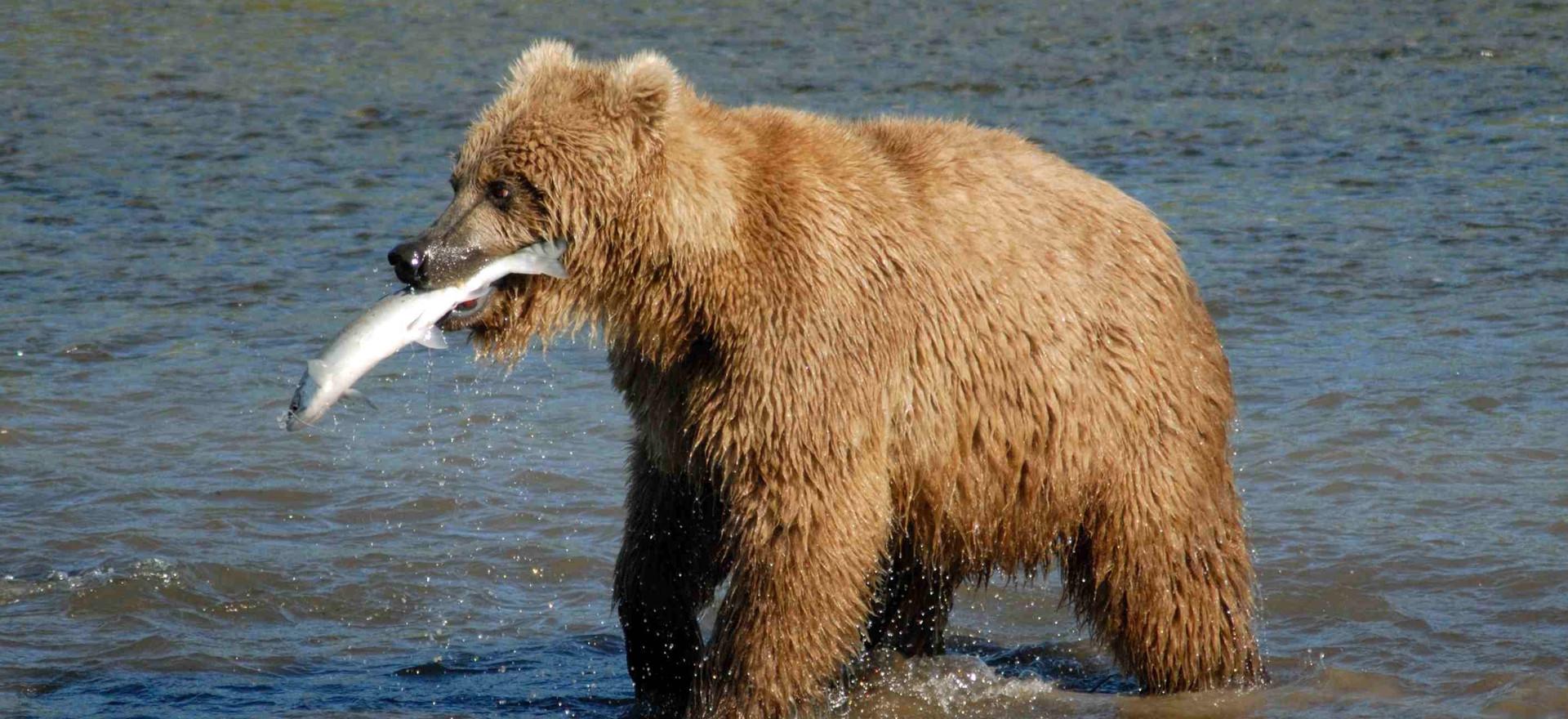 Bear_Alaska_(3)_edited.jpg