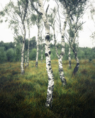 Birch Trees, Strensall Common