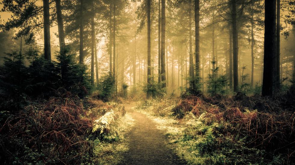 Woodland Path, Wheldrake Wood