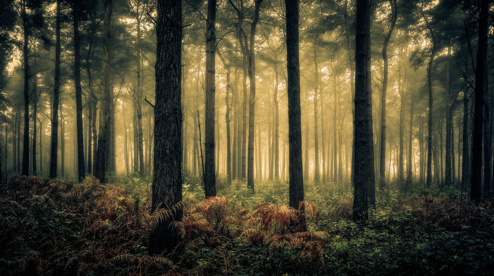 Pine Trees, Wheldrake Wood