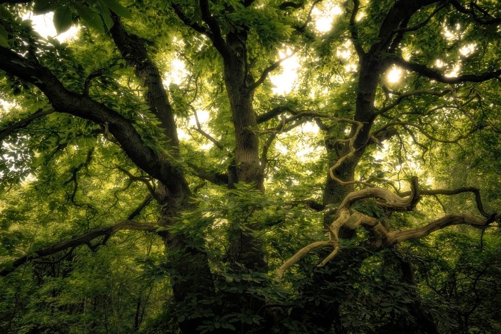 Sweet Chestnut, Garbutt Wood