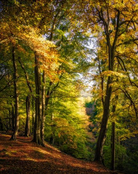 Autumn Beech, Nidderdale